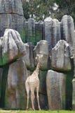 Giraffe είναι ψηλό και ισχυρό, τα forelimbs είναι ελαφρώς πιό μακροχρόνια από τα οπίσθια άκρα, και οι οπλές είναι ευρείες  οι ουρ στοκ φωτογραφία με δικαίωμα ελεύθερης χρήσης