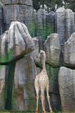Giraffe είναι ψηλό και ισχυρό, τα forelimbs είναι ελαφρώς πιό μακροχρόνια από τα οπίσθια άκρα, και οι οπλές είναι ευρείες  οι ουρ στοκ εικόνες