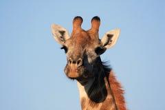 Giraffe εξετάζει τη κάμερα Στοκ Εικόνες