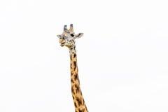 Giraffe επάνω που απομονώνεται στενός στο λευκό Στοκ Φωτογραφίες