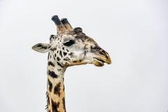 Giraffe επάνω που απομονώνεται στενός στο λευκό Στοκ φωτογραφία με δικαίωμα ελεύθερης χρήσης