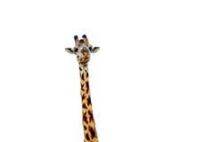 Giraffe επάνω που απομονώνεται στενός στο λευκό Στοκ Εικόνες