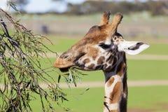 Giraffe επίτευξη υψηλή για να φάνε τα φύλλα Στοκ εικόνες με δικαίωμα ελεύθερης χρήσης