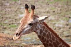 giraffe επικεφαλής πλάνο Στοκ φωτογραφίες με δικαίωμα ελεύθερης χρήσης