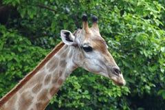 Giraffe επικεφαλής στενός επάνω Στοκ εικόνα με δικαίωμα ελεύθερης χρήσης