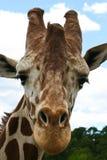 Giraffe επικεφαλής μέτωπο Στοκ Εικόνες