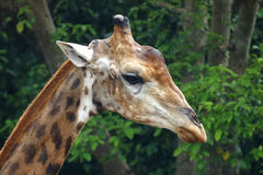 Giraffe επικεφαλής στενός επάνω ζωολογικός κήπος στην Ταϊλάνδη Στοκ εικόνες με δικαίωμα ελεύθερης χρήσης
