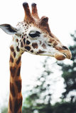 Giraffe επικεφαλής στενός επάνω, στη φύση Στοκ φωτογραφία με δικαίωμα ελεύθερης χρήσης
