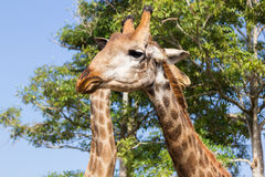 Giraffe επικεφαλής στενός επάνω στο ζωολογικό κήπο Στοκ φωτογραφία με δικαίωμα ελεύθερης χρήσης