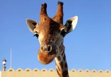 Giraffe επικεφαλής στενός επάνω στο υπόβαθρο ουρανού Στοκ Εικόνες
