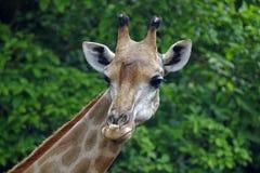 Giraffe επικεφαλής στενός επάνω Στοκ Εικόνες