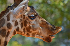 Giraffe επικεφαλής στενός επάνω Στοκ Εικόνα