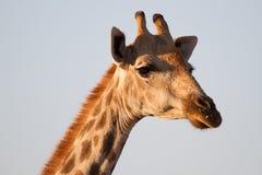 Giraffe, επιφύλαξη παιχνιδιού Madikwe στοκ εικόνες