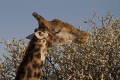 Giraffe, επιφύλαξη παιχνιδιού Madikwe στοκ εικόνα