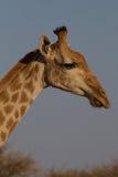Giraffe, επιφύλαξη παιχνιδιού Madikwe στοκ φωτογραφίες
