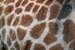 Giraffe λεπτομέρεια δερμάτων στοκ φωτογραφία