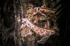 Giraffe ζεύγος Στοκ εικόνα με δικαίωμα ελεύθερης χρήσης