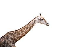 Giraffe ζεύγος Στοκ Εικόνες