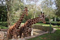 Giraffe ζωές σε ένα σαφάρι Στοκ φωτογραφία με δικαίωμα ελεύθερης χρήσης