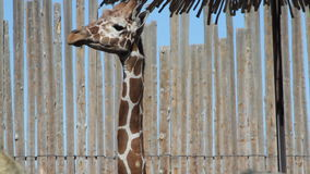 Giraffe ζωολογικών κήπων φιλμ μικρού μήκους