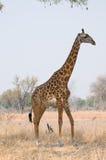 giraffe θάμνων περπάτημα στοκ φωτογραφία