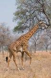 giraffe θάμνων περπάτημα Στοκ Φωτογραφίες