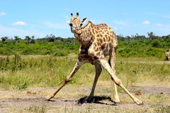 Giraffe διασπασμένη πίνοντας Ναμίμπια Etosha Στοκ φωτογραφία με δικαίωμα ελεύθερης χρήσης