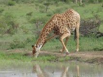 giraffe διψασμένο Στοκ φωτογραφίες με δικαίωμα ελεύθερης χρήσης