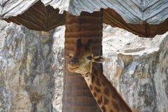 Giraffe κάτω από τη στέγη Στοκ Εικόνα