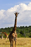 Giraffe (Κένυα) Στοκ Φωτογραφίες