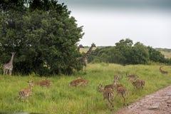 Giraffe και μικρό giraffe με το antelopa στο δρόμο στο πάρκο Masai Mara Στοκ εικόνες με δικαίωμα ελεύθερης χρήσης