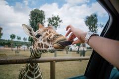 Giraffe και ο άνθρωπος παραδίδουν το ζωολογικό κήπο Ιταλία σαφάρι apulia Fasano στοκ φωτογραφία