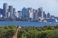 Giraffe και Σίδνεϊ Στοκ Εικόνες