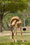 Giraffe και στρουθοκάμηλος Στοκ εικόνα με δικαίωμα ελεύθερης χρήσης