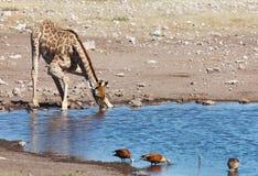 giraffe κατανάλωσης Στοκ φωτογραφία με δικαίωμα ελεύθερης χρήσης