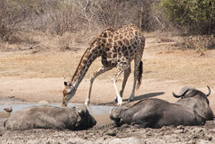 Giraffe κατανάλωση Στοκ φωτογραφία με δικαίωμα ελεύθερης χρήσης