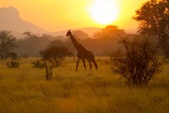 Giraffe κενυατική ανατολή Στοκ φωτογραφίες με δικαίωμα ελεύθερης χρήσης