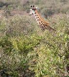 Giraffe κεφάλι και λαιμός επάνω από το treeline Στοκ Εικόνα