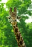 Giraffe κεφάλι με το λαιμό που απομονώνεται σε πράσινο Στοκ Φωτογραφία