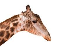 Giraffe κεφάλι στο ζωολογικό κήπο Στοκ Φωτογραφία