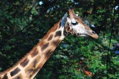 Giraffe κεφάλι στο πράσινο υπόβαθρο Στοκ Φωτογραφίες