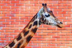 giraffe κεφάλι στο υπόβαθρο τούβλου Στοκ Εικόνες