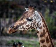 Giraffe κεφάλι 10 στοκ φωτογραφία