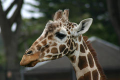giraffe κεφάλι Στοκ Φωτογραφίες