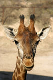 giraffe κεφάλι Στοκ Εικόνα