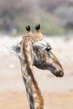 Giraffe κεφάλι από πίσω Στοκ φωτογραφίες με δικαίωμα ελεύθερης χρήσης
