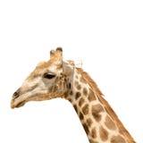 Giraffe κεφάλι και λαιμός Στοκ εικόνα με δικαίωμα ελεύθερης χρήσης