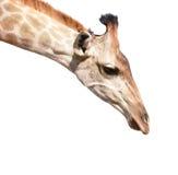 Giraffe κεφάλι που απομονώνεται στον άσπρο στενό επάνω πυροβολισμό Στοκ Εικόνες