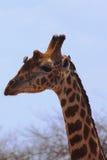 Giraffe κεφάλι - σαφάρι Κένυα Στοκ Εικόνες