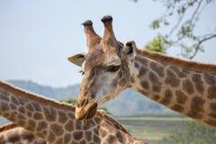 Giraffe κεφάλι στον εθνικό ζωολογικό κήπο Στοκ Φωτογραφία